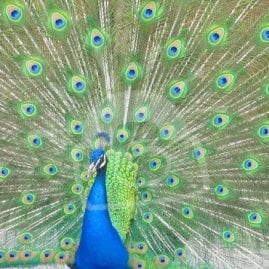 Pretty Peacock (side)