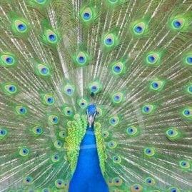 Pretty Peacock  – front