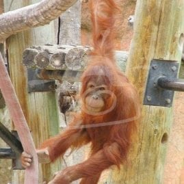 Orangutan Playing