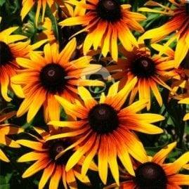 Bright Black Eyed Susans