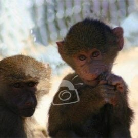 Two Baby Baboons
