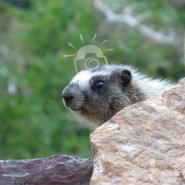 A marmot game of peek-a-boo