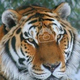 Posing Tiger
