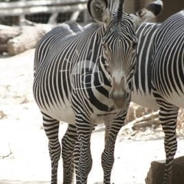 Coy Zebra