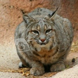 Arizona Wildcat