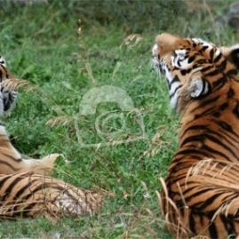 Two Tigers resting