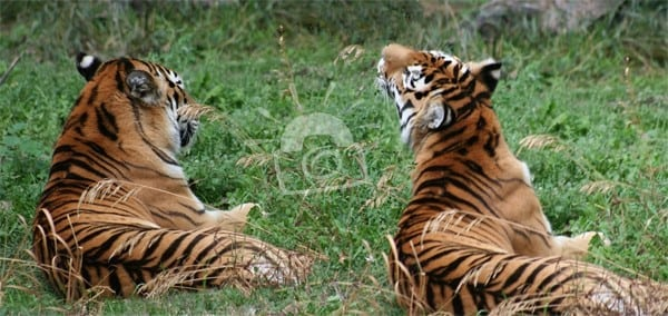 Tigers resting at ZooMontana