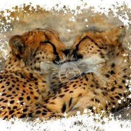 AP Leaves Cheetah Smooches