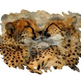 AP Cheetah Smooches
