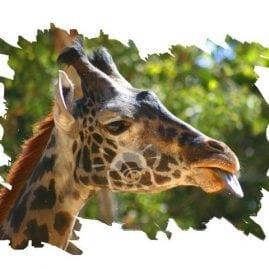 AP Silly Giraffe