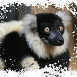 AP Leaves Ruffed Lemur