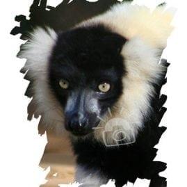 AP Ruffed Lemur