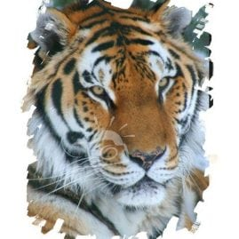 AP Tiger