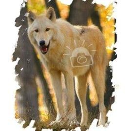 AP Wolf