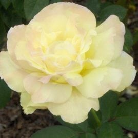 Yellow Rose of Boise