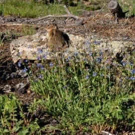 Squirrel and Harebells