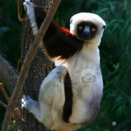 Interested Sifaka