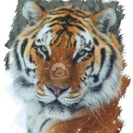 AP Siberian Tiger