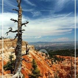 Bristlecone Pine (Border)