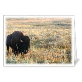 Bison in a Field – 5×7 Card