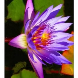 Waterlily Playing cards