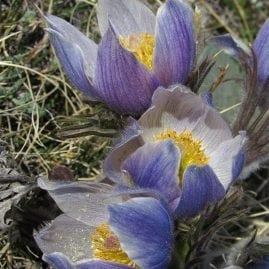 Three Little Crocuses