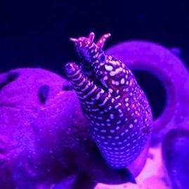 Ursula's Minion