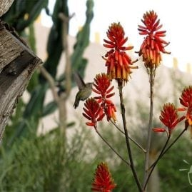 Aloe blooms and Hummingbirds