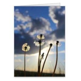 RMNP Dandelions – 5×7 Card