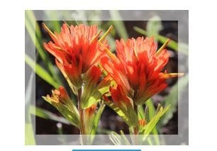 Rocky Mountain Indian Paintbrush